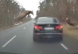 Zderzenie jelenia z BMW